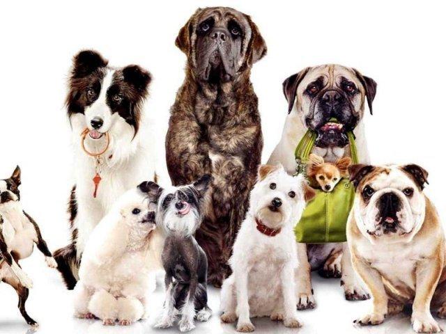 Acerte a raça de cachorro