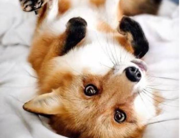 Teste da raposa