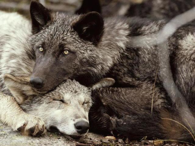 Qual seria a sua posição em uma alcateia de lobos?
