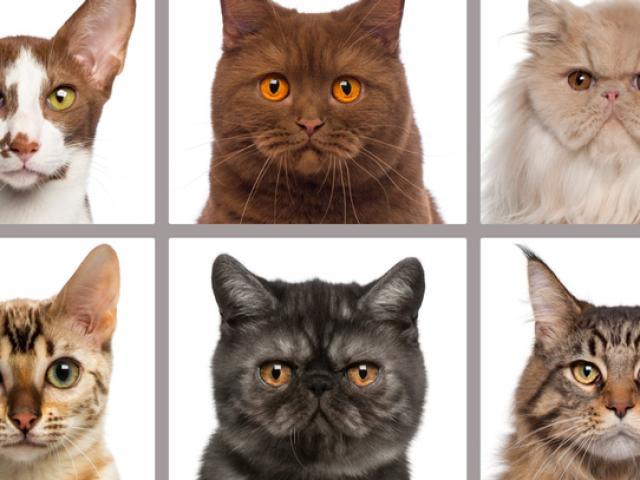 Será que você sabe as raças de gatos?