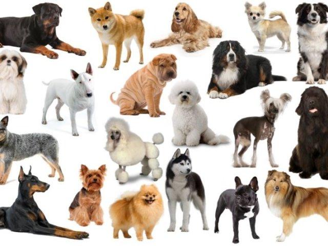 Qual raça de cachorro tem mais a ver com a sua personalidade?