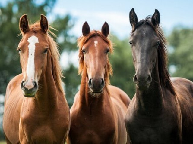 Qual a raça destes cavalos?