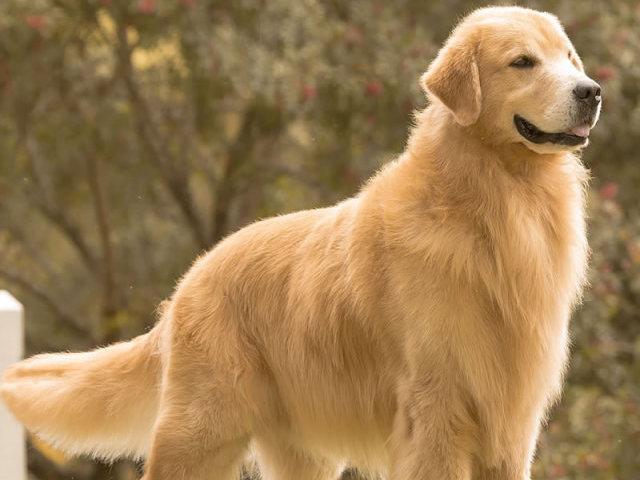 Você conhece mesmo o Golden Retriever?