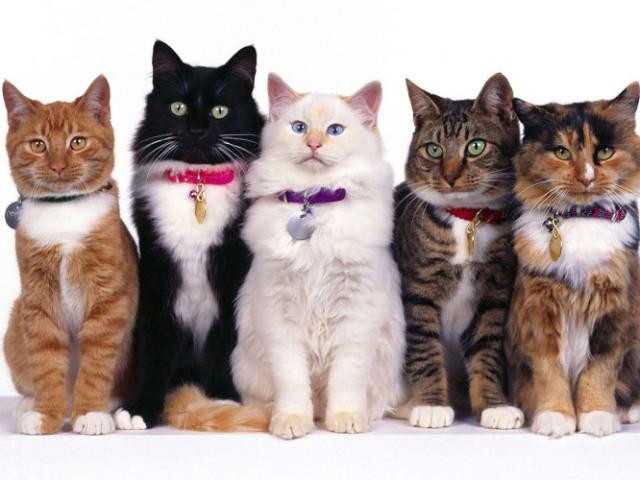 Você conhece as raças de gatos?