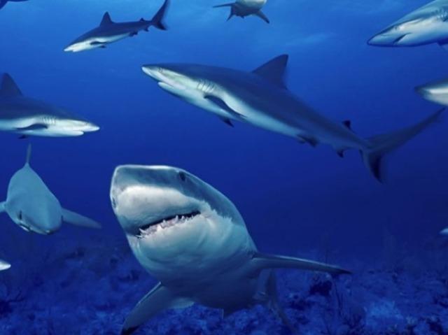 Qual tubarão você seria?