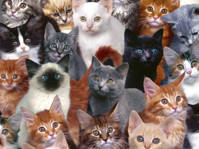 Será que você conhece as raças de gato?