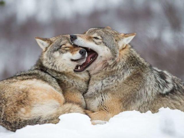 Qual lobo você seria no livro O Destino do Lobo?