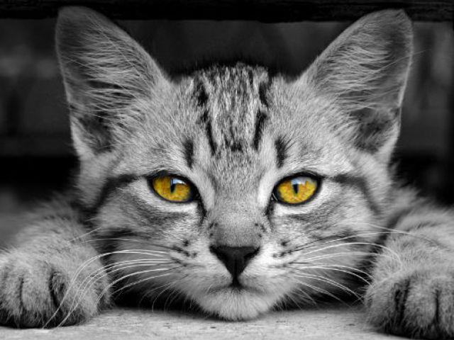 Você conhece as raças de gato?