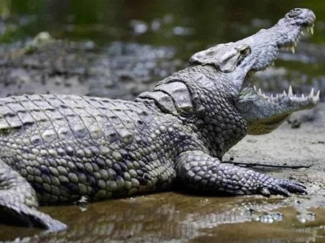 O que você sabe sobre crocodilos?