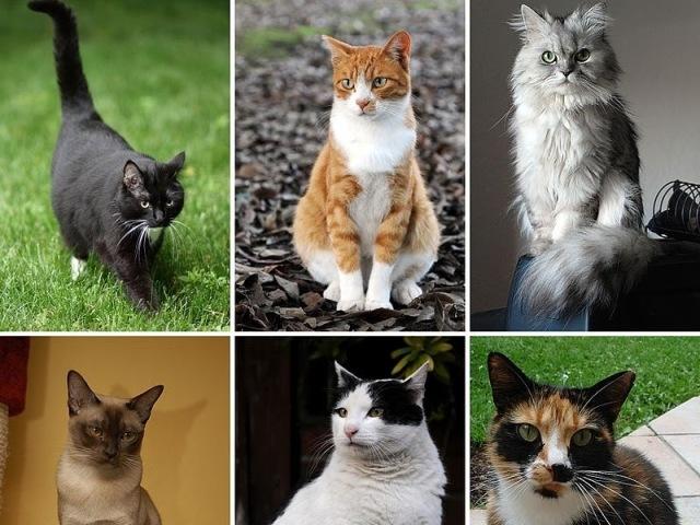 Você conhece algumas raças de gato?