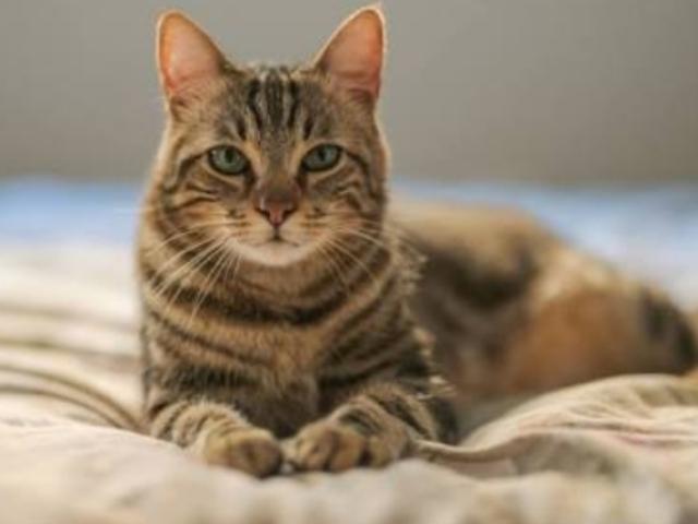 Você conhece as raças de gato?(nível 2)