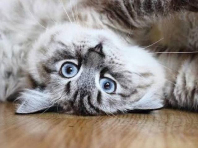 Você conhece as raças de gato?(nível 3)