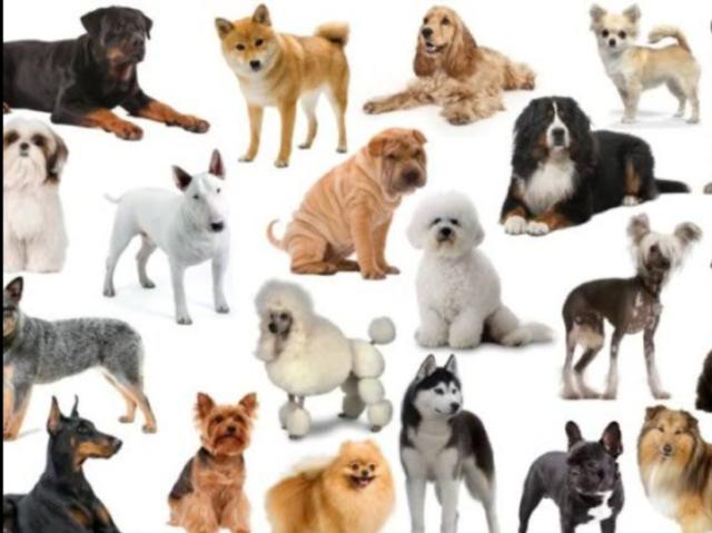 Você conhece as raças de cachorro?