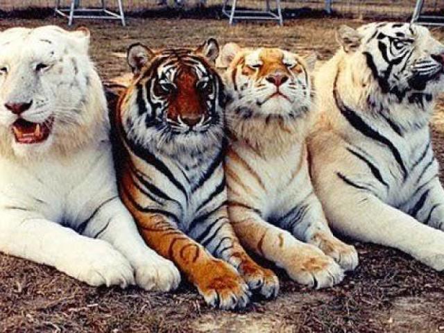 🐯Qual Tigre você seria?🐯