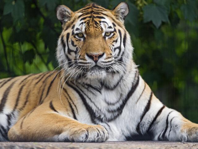 Você realmente conhece um tigre? 🐯