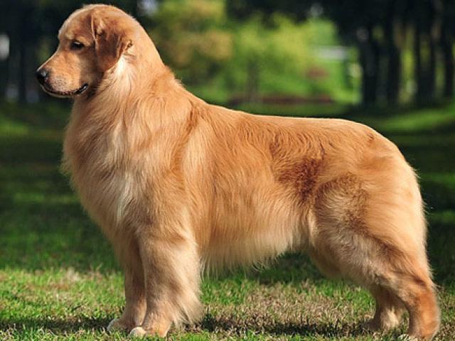 Adivinhe as raças de cachorro pela foto