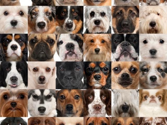Raças de Cães (difícil)