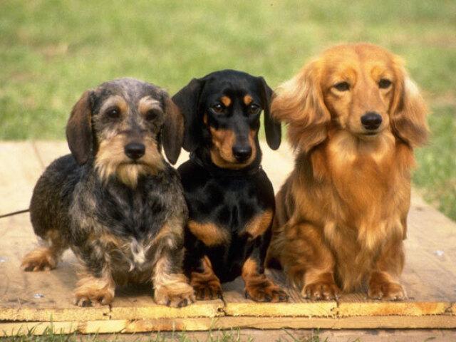 Qual raça de cachorro é perfeita para você?