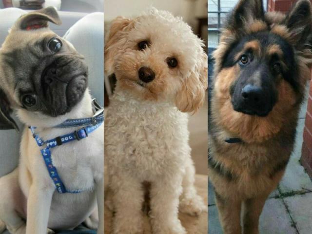 Qual raça de cachorro você seria?