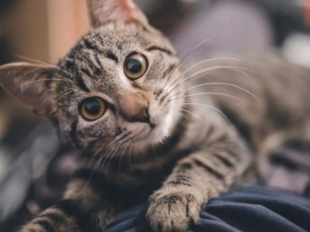 Qual raça de gato combina com você?