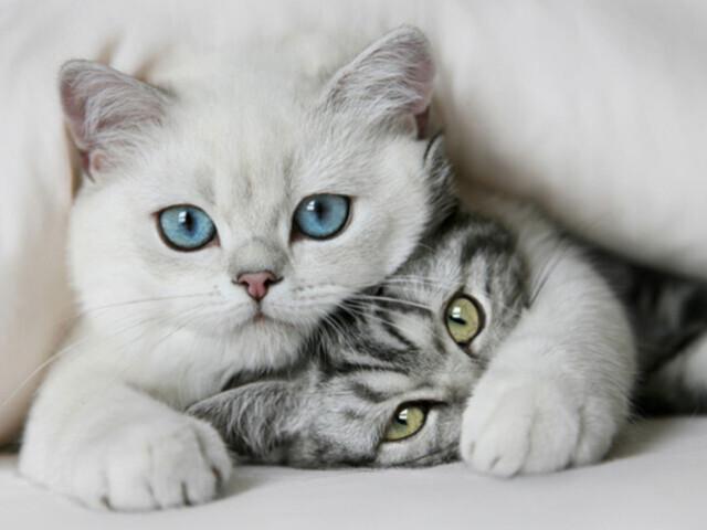 🐱Qual raça de gato você seria? 🐱