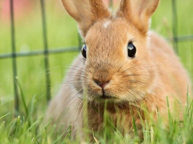 Que raça de coelho você seria?
