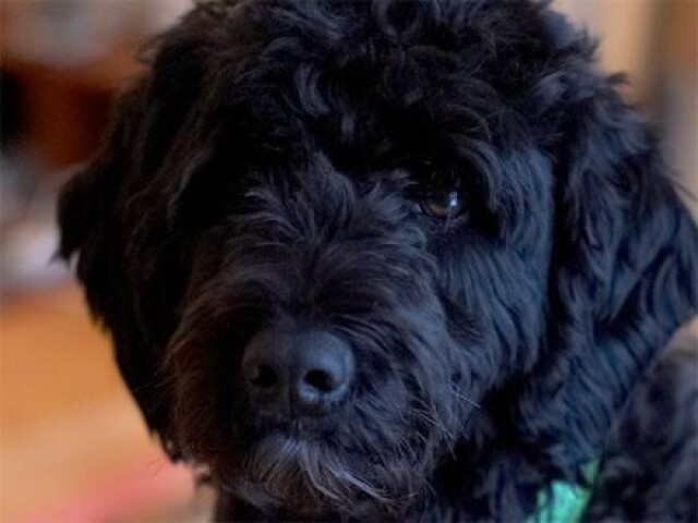 Quiz você realmente conhece a raça de cachorro parte(3)!