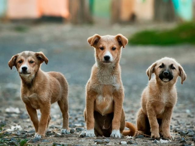 Se você fosse um cão, qual raça seria?